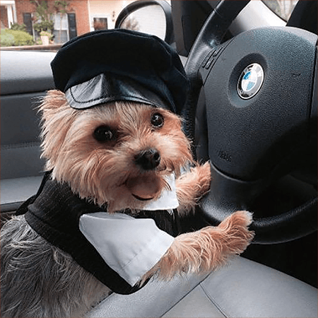An adorable Yorkie Chauffeur behind the wheel ready to come pick-up your pet