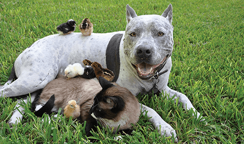 A pit bull lying contentedly with a cat and a bunch of baby chicks all over him.