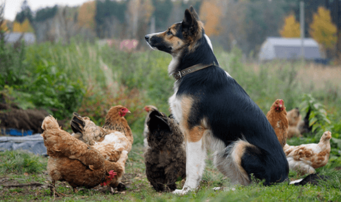 a shephard dog sitting at attention among chickens