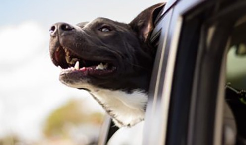 a happy dog with his head out the car window