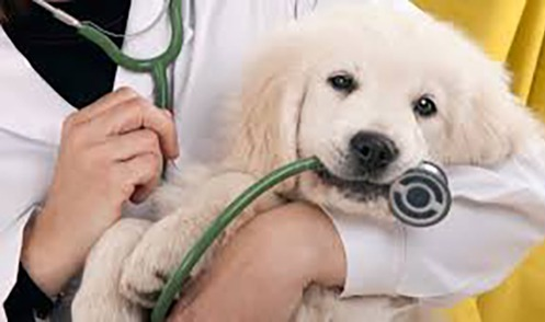 a fluffy puppy playing with the vet's stethoscope