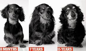 The same dog pictured at 8 months, 7 years, and 15 years of age.