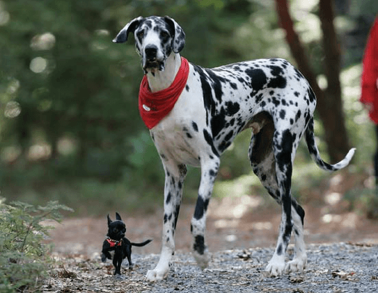 A tiny black Chihuahua walking with a spotted Great Dane.