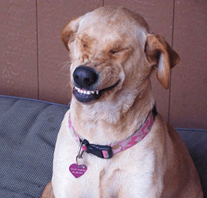 A dog with a goofy smile--with dog training you see that sometimes