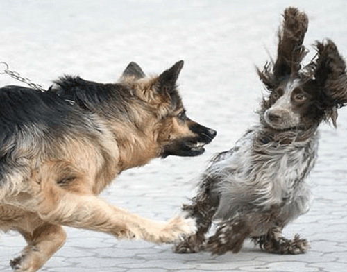 An aggressive dog lunging at another dog shows one of the scariest problems with un-trained dogs.