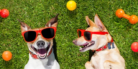 Two silly looking dogs wearing sunglasses
