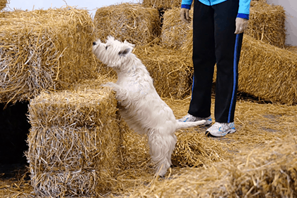 Westie sniffing a hay bale