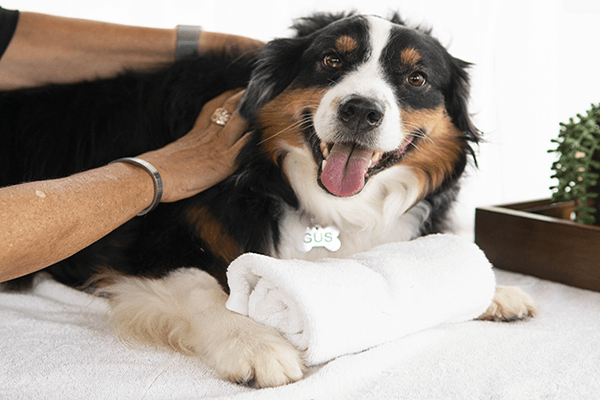 A blood hound getting a massage.